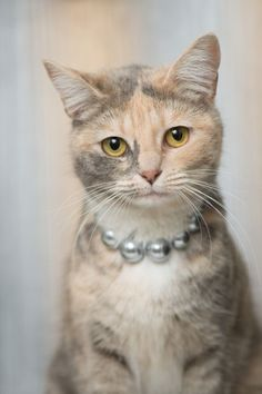 ZsaZsa Bellagio – Like No Other (diluted calico cat) Pretty Cats, Beautiful Cats, Animals Beautiful, Cute Animals, Pretty Kitty, Crazy Cat Lady, Crazy Cats, Gato Calico, Calico Cats