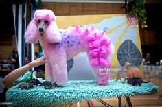 A poodle creatively groomed as a dinosaur at an event in Swanley, England. It has long been associated with the mad-cap pet owners of the USA, but now the art of extreme dog grooming is gracing the shores of the UK. From a red dragon and Bertie Bassett to Lady Gaga and Winnie the Pooh these prancing pooches are enjoying a doggie fancy dress show. Imaginatively transformed from humble dogs to All Sorts of cultural icons these poodles were blissfully unaware of what all the fuss was about…