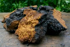 Chaga: Mushroom of immortality and king of all herbs