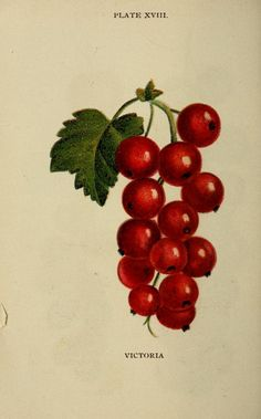 'Victoria' redcurrants. Illustration taken from 'Biggle Berry Book' by Jacob Biggle. Published 1894 by Wilmer Atkinson Co.The Library of Congressarchive.org