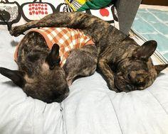 French Bulldogs つむちゃんよぉー  #buhi #dog #frenchbulldogs #フレンチブルドッグ #多頭飼い #黒ブヒ隊 #女子なのに#寝相が悪い#こっそり逃げたむっくん