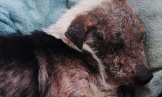 Il cane è troppo brutto: i proprietari chiedono al veterinario di sopprimerlo