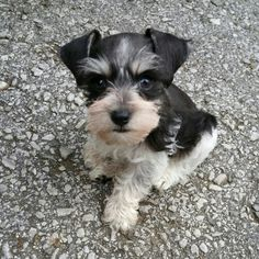 Micro Teacup Schnauzer Puppies For Sale!!!!  This is Rowdy!  He is a Black and White Parti Itty-bitty Schnauzer ~ He is  the sweetest little thing!!!!  A little lover.  $1200. Text 417.850.8634