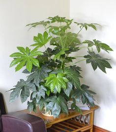 Indoor Plant -House or Office Plant -Japanese Aralia - Ca... https://www.amazon.co.uk/dp/B009921QYO/ref=cm_sw_r_pi_dp_x_LAWPybFX6NE48