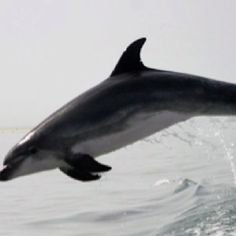 DOLPHINS!! (it is my spirit animal after all)