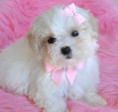 Maltipoo...this is what I just bought..and she is the sweetest little girl ever!