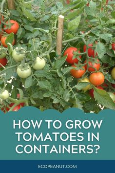 How To Grow Tomatoes In Containers?