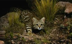 South American Pampas Cat from Nat Geo