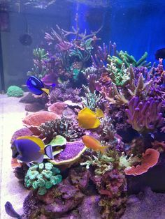 Check out this special LED light that makes your coral grows like crazy! And it's affordable! Glass Aquarium, Tropical Aquarium, Reef Aquarium, Saltwater Tank, Saltwater Aquarium, Underwater Creatures, Ocean Creatures, Architecture Tattoo, Art And Architecture
