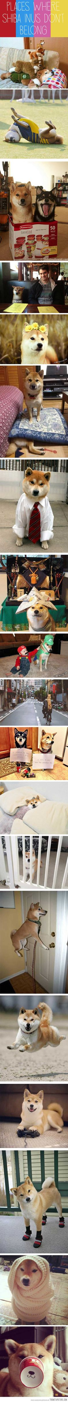 Places Shiba Inus don't belong :3 … I would hope they weren't in each situation for too long~ ^^""""""""