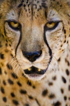 99 потрясающих портретов животных, гепард