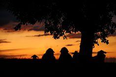 Schafe stehen unter einem Baum bei Bechstedtstraß und beobachten den Sonnenuntergang. Foto: Marco Kneise