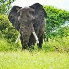 Kruger National Park Go On a Safari Take a journey to the African plains and bear witness to some incredible nature and animals in their natural element. Elephant World, African Elephant, African Safari, Bull Elephant, The Places Youll Go, Places To Visit, Kruger National Park, Game Reserve, Famous Places