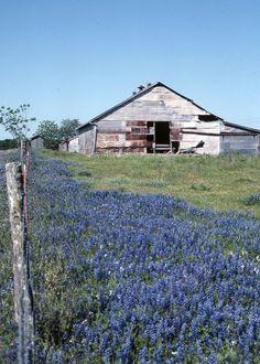 Bluebonnets, Bluebonnets and Barn; #photograph.