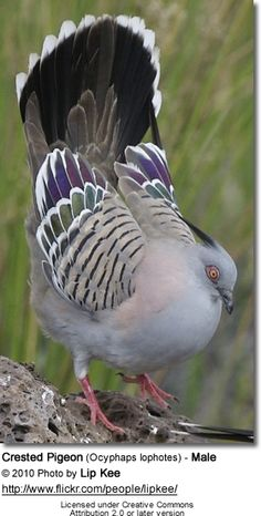 Birds Crested Pigeon (Ocyphaps lophotes) - Male