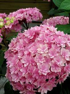Gorgeous Flowers Garden & Love — Hydrangea 'Double De Flowers Garden I so love hydrangeas! Wow!