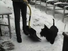 Murray the Naughty Scottie chases a shovel.  My Angus does the same with everything!