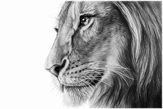 Exceptional Profile of an African Male Lion. (by Wildlife Artist Richard Symonds).