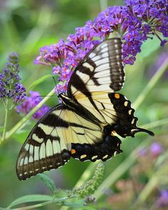 swallowtail Butterfly just like the one I took a picture of this week