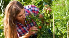 Zeleninová záhrada v júni: Ošetrujte porast, pripravte ďalšiu úrodu