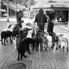 'The Pack' out for a walk. #wellington #nz #travel #street #photography #moments #galaxys5 #dogsofinstgram #dog #walking http://tipsrazzi.com/ipost/1523548290268231690/?code=BUkuxkPl3gK