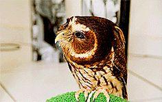 Mottled Owl~
