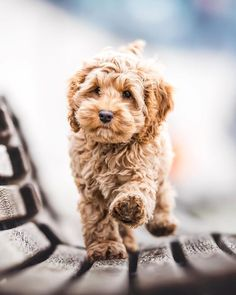 Labradoodle Temperament - How to Choose The Right Temperament - Labradoodles & D. - Labradoodle Temperament – How to Choose The Right Temperament – Labradoodles & Dogs - Super Cute Puppies, Cute Dogs And Puppies, Baby Dogs, I Love Dogs, Pet Dogs, Doggies, Cute Pups, Cute Little Dogs, Fluffy Puppies