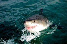 Shark Week Is Lying To People Again |via I Fucking Love Science <3