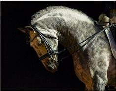 """Stunning portrait of Andalusian horse by equine artist www.bklawesart.com - titled """"With Grace"""""""