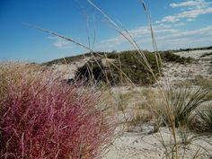 tumble ringwing is a native species of tumbleweed, unlike the tumbleweed of western movies (which didn't live in the west at the time the movies portray)...ringwing can be this shade of red, all the way to deep purple...and then late in the winter turn golden (especially in early morning light)