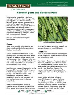 How to grow pea seeds from sowing to harvest. Pea growing guide from beginners to advanced gardeners. Sowing, watering, location, fertilizing and harvest. Backyard Vegetable Gardens, Veg Garden, Garden Seeds, Growing Green Beans, Growing Peas, Pergola Planter, From Farm To Table, Veg Patch, Prairie Garden