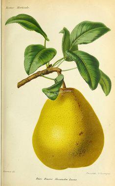 pear-01196 - Pear, 2 Pear, Fruit, Digital, Bulb