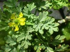 Smell of childhood memories, rue herb