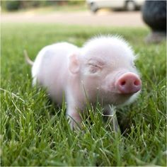 Cute piggy little pigs, this little piggy, farm animals, cute baby animals Teacup Piglets, Animal Pictures, Cute Pictures, Mini Pigs, Cute Piggies, Baby Pigs, Little Pigs, Exotic Pets, Cute Baby Animals