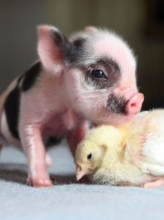 cute-piggy-pigley-chick-animal-pictures-pics.jpg (564×759)