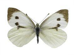 Imagini pentru fluturi albi