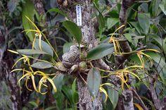 Maxillaria endresii by f_msantos...