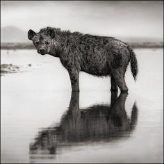 Nick-Brandt, Hyena He is the best nature photog ever! Amazing!