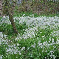 Geheimtipp für weiße Gärten: Hyacinthoides hispanica 'White City' fühlt sich unter Bäumen oder am Waldrand wohl.Pflanzzeit ist für die Blumenzwiebeln im Herbst - online bestellen unter www.fluwel.de