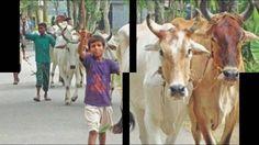 Cow Qurbani video 2016 | Bakra Qurbani | Eid ul adha qurbani photos 2016...
