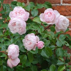 David Austin The Generous Gardener - another reliable climber with good fragrance and repeat flowering.
