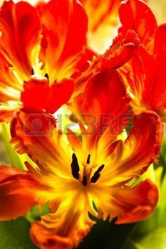 Red Tulip Images, Stock Pictures, Royalty Free Red Tulip Photos ...