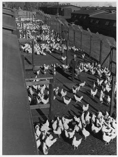 Mori Nakashima  feeding the chickens.  A chicken ranch and hog farm were built in Manzanar, providing meat for internees. (Photo by Ansel Adams)