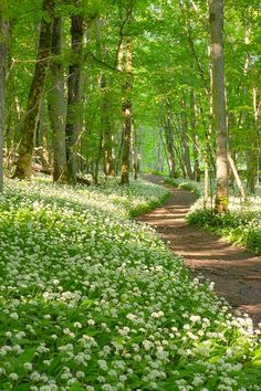 Path through wild garlic flowers [unable to determine location or photographer]