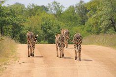 Le Parc national Kruger est un véritable coin de paradis sur terre et 1,4 million de personnes visitent cette réserve annuellement. Découvrez-en plus!