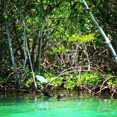 Caught a quick pic of this Egret enjoying the mangroves along the Manasota Key intercoastal!