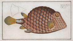"The Triangular fish (Ostracion Tricornus) from Marcus E. Bloch's ""Natural history of Fish"", 1782-1795"