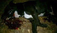 7 shots to kill this 5 MONTH old puppy?  They used him as TARGET PRACTICE!  THESE COPS NEED TO BE FIRED!  NOW!!!