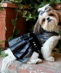 "Shih Tzu Biker girl. Black ""Leather"" Dress and Pearls. Adorable. Jpg."