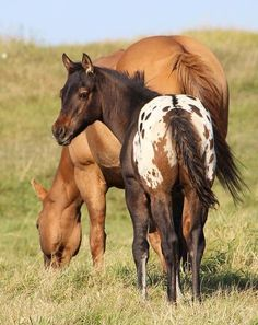 """Strong N Proud - 2012 Stallion - """"Sawyer"""" is a 2012 ApHC registered dun with spotted blanket colt"""